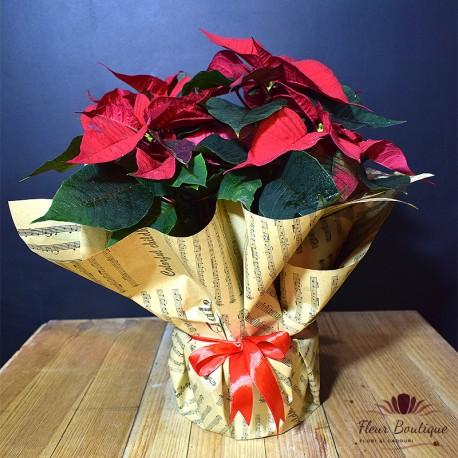 Euphorbia Rosie