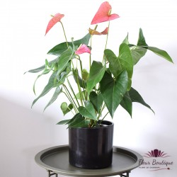 Anthurium planta naturala