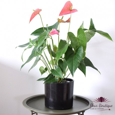 Anthurium planta naturala