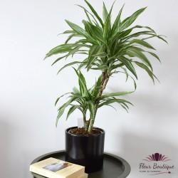 Kalanchoe si Spathiphyllum