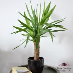 Yucca- planta de interior