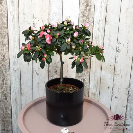 Azalee - Planta de interior